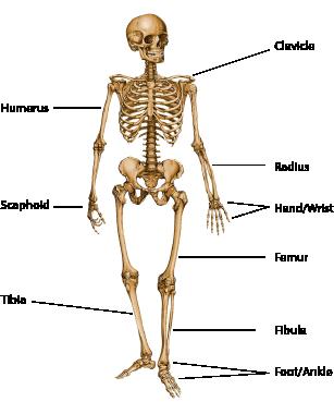 skeleton_illustration_labels